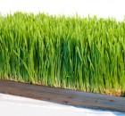 Для чего к Новрузу проращивают пшеницу?