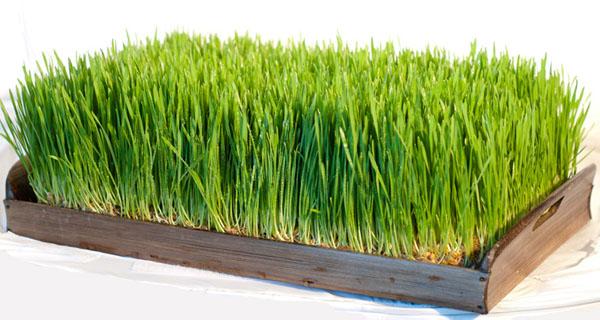 Как проращивать пшеницу к Новрузу